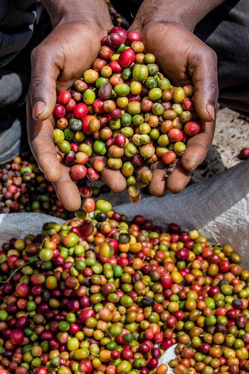 Koffiebonen plantage Kenia Latte Heart Coffee Cakes Schiedam