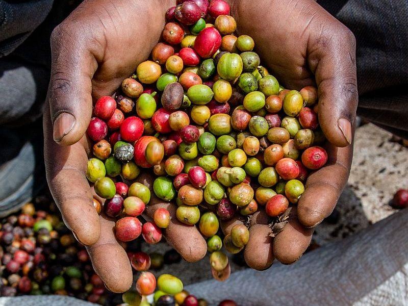 Koffieplantage tijdens de Kenia reis van Latte Heart Coffee Cakes uit Schiedam